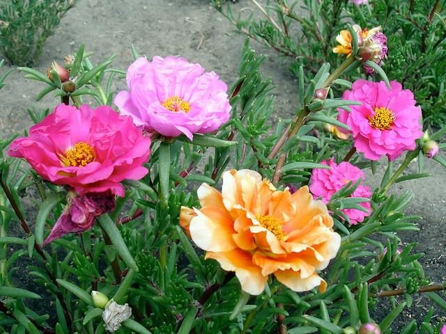 マツバボタン、Rose moss