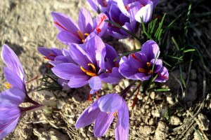 サフラン、Saffron crocus