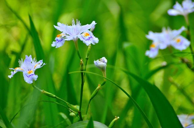 シャガ、Fringed iris