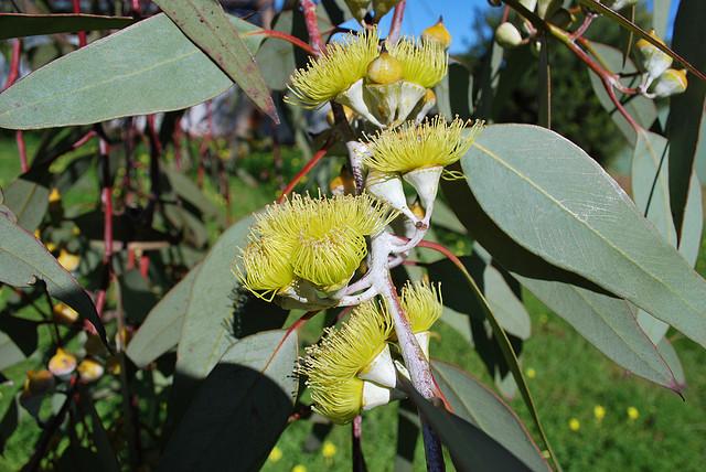 ユーカリ、Eucalyptus