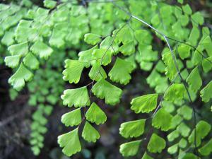 アジアンタム、Maidenhair fern