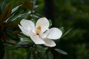 タイサンボク、Southern magnolia