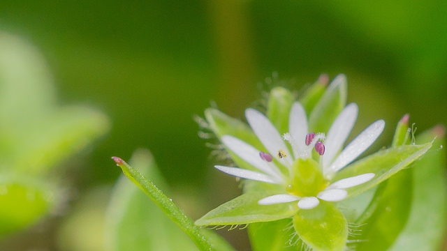 Chickweed-01