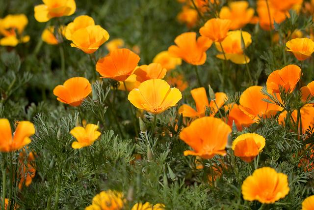 California poppy-01