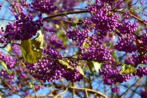 Japanese beautyberry-02