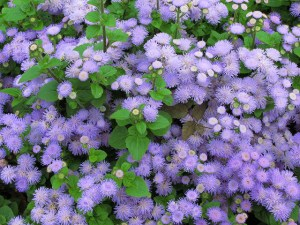 Floss flower-01