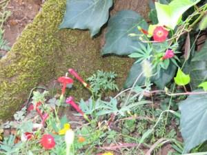 Ipomoea × multifida