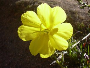 Evening primrose_Matsuyoigusa-01