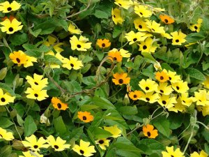 Black-eyed Susan vine-02