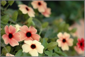 Black-eyed Susan vine-03