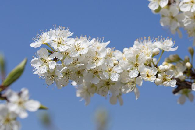 Japanese plum_01