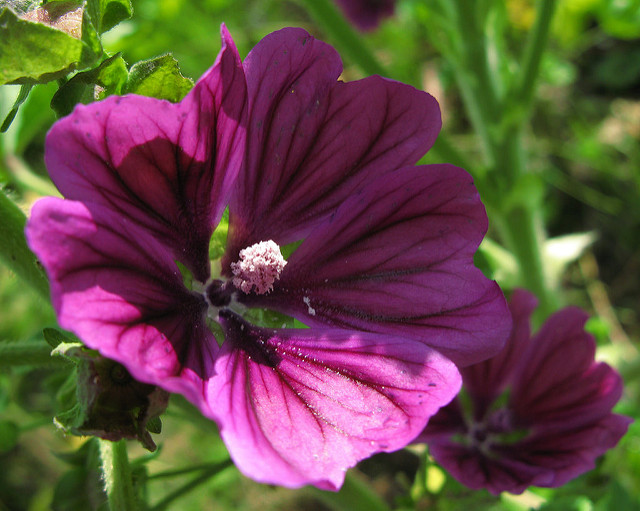 Common mallow-01
