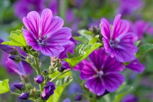 Common mallow-02