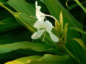 Ginger lily-01