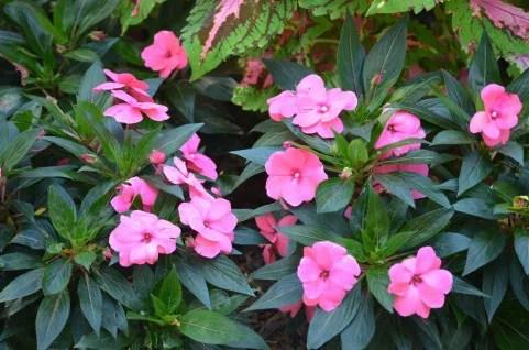 日陰でもきれいに咲くインパチェンスの育て方と増やし方!1