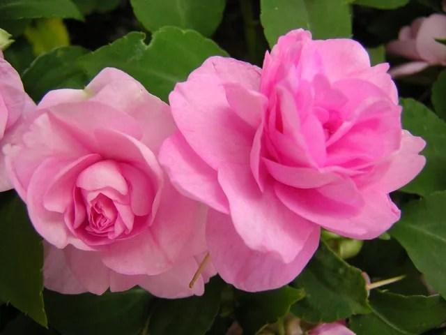 日陰でもきれいに咲くインパチェンスの育て方と増やし方!4