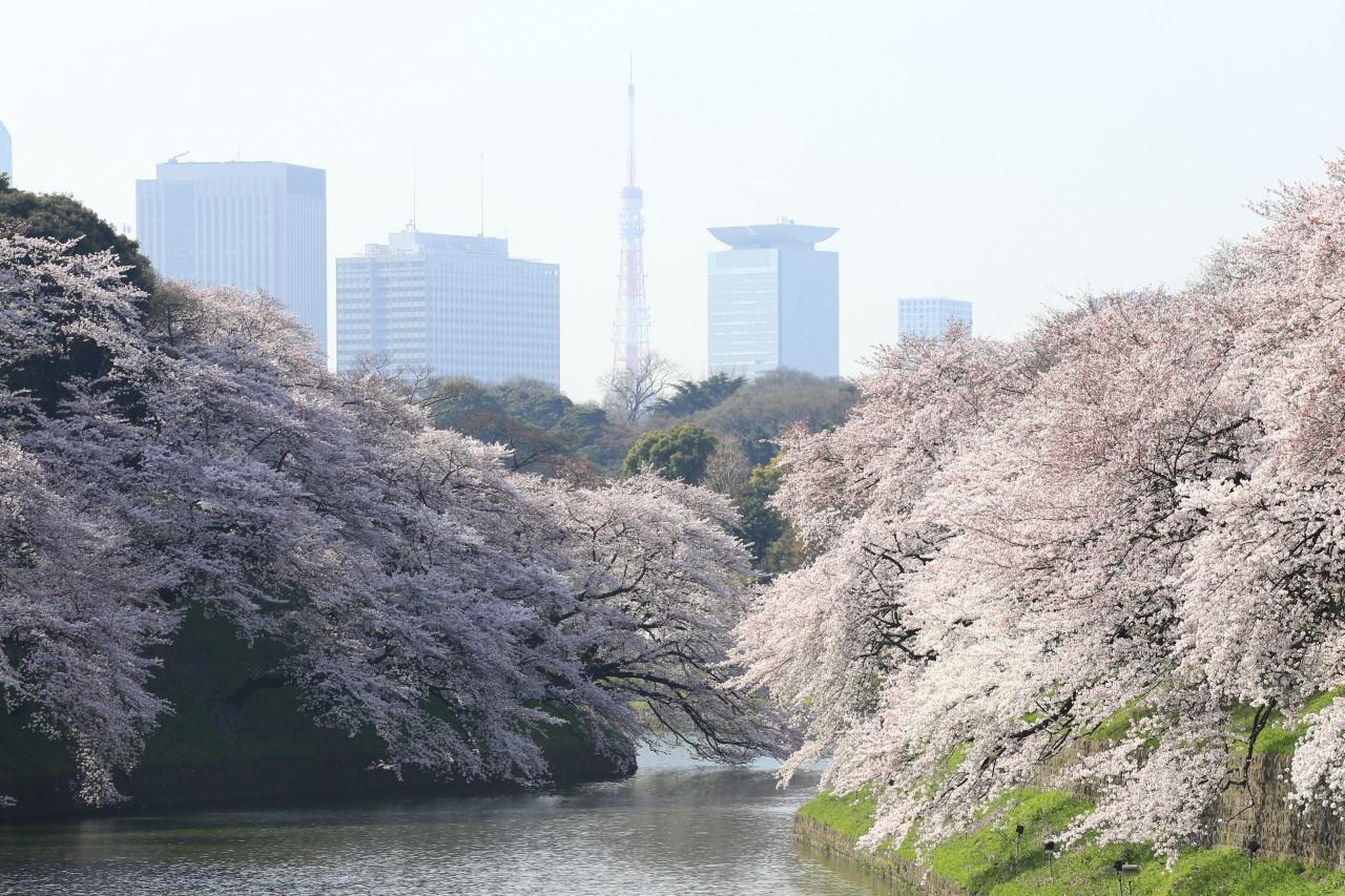 Chidorigafuchi Tokyo Imperial Palace Spring
