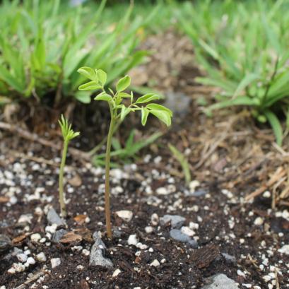 A newly planted Moringa tree