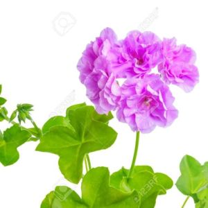 Geranium Violet Potted