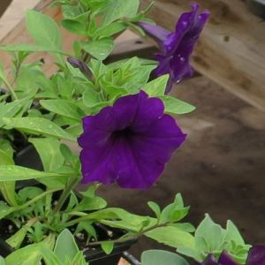 Blue Petunia Potted