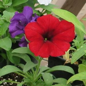 Red Petunia Potted