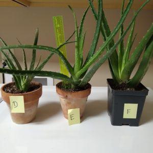 "Succulent, 12-16"" tall aloe in 4"" clay pot"