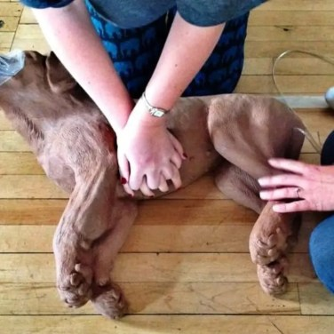 first aid cpr canine