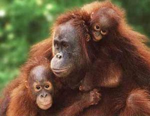 Orangutan family endangered
