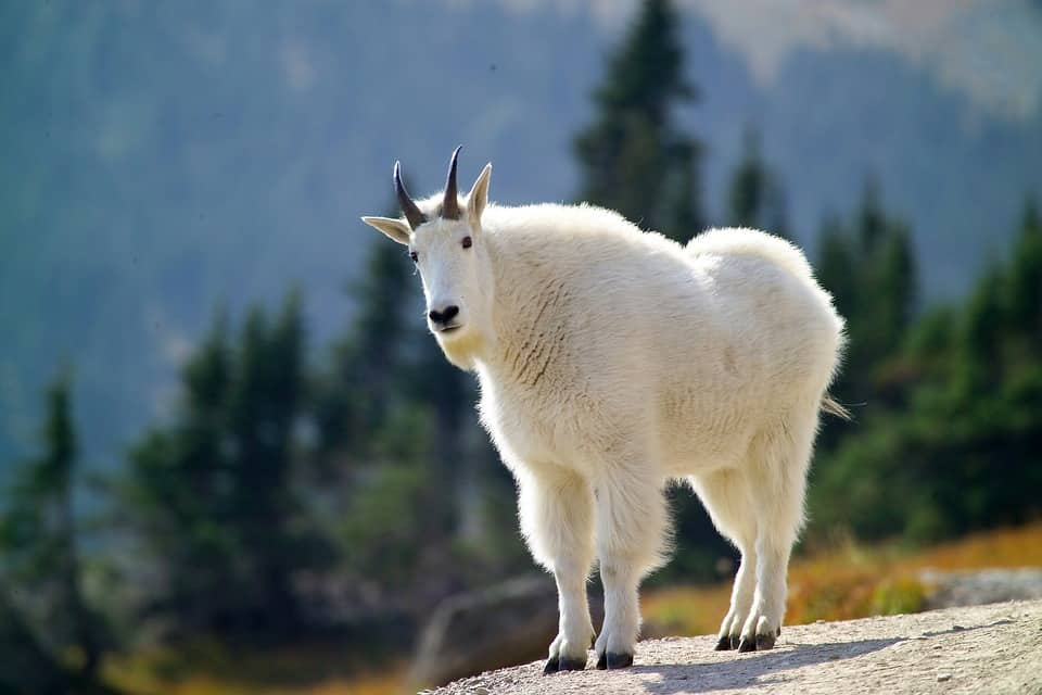Chyangra-mountain-goat-nepal