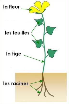 Resultado de imagen para parties de la plante