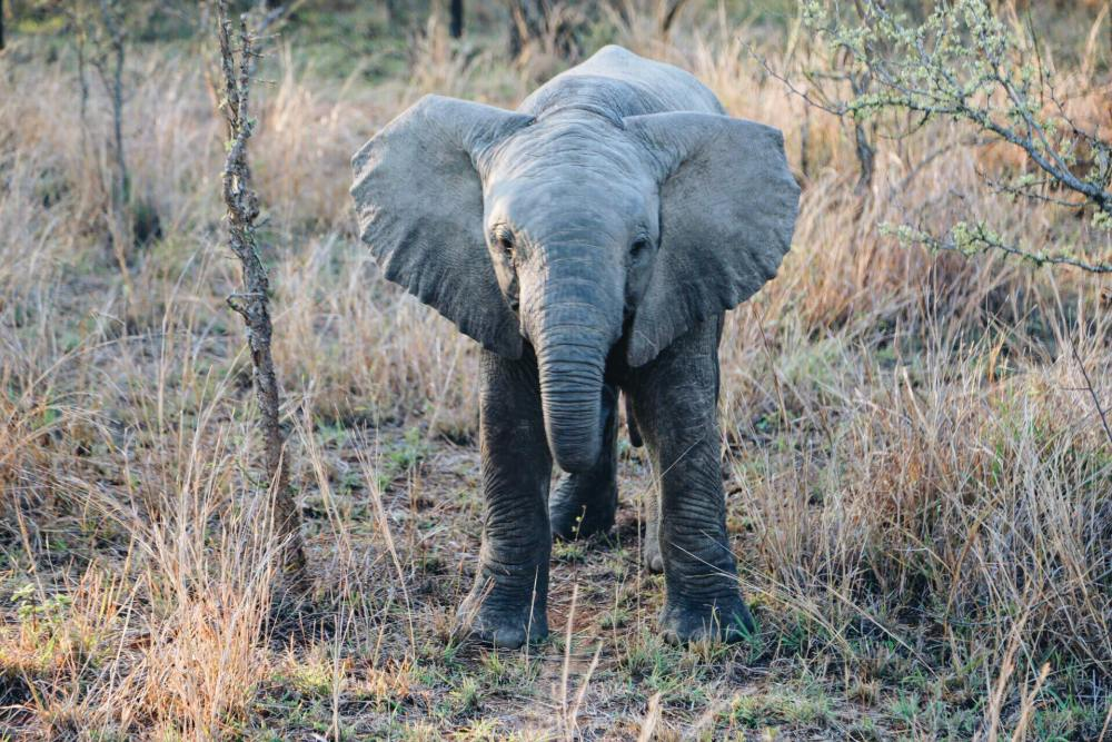 Seeing The Big 5 On Safari In Kruger National Park, South Africa - African Elephants, Black/White Rhinoceros, Lions, Leopards and Buffalos (3)