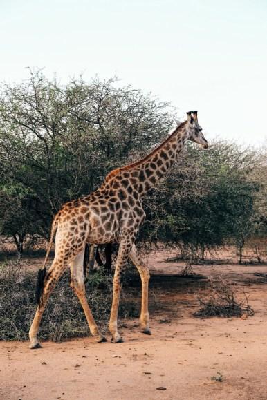 Safari In South Africa - A Photo Diary (3)