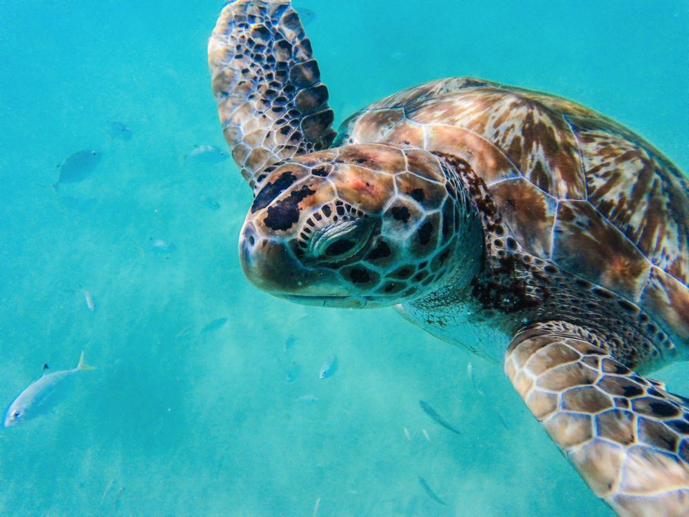 Sailing In Barbados - Swimming With Turtles and Puffer Fish (4)