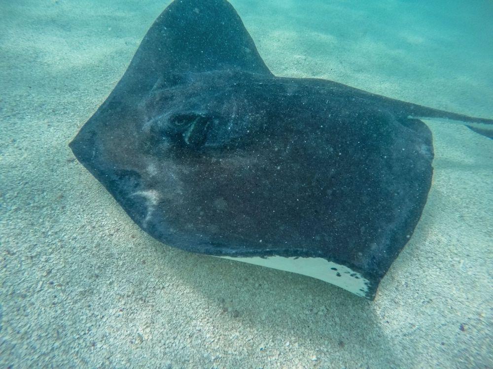 How To Swim With Wild Stingrays In Antigua (43)
