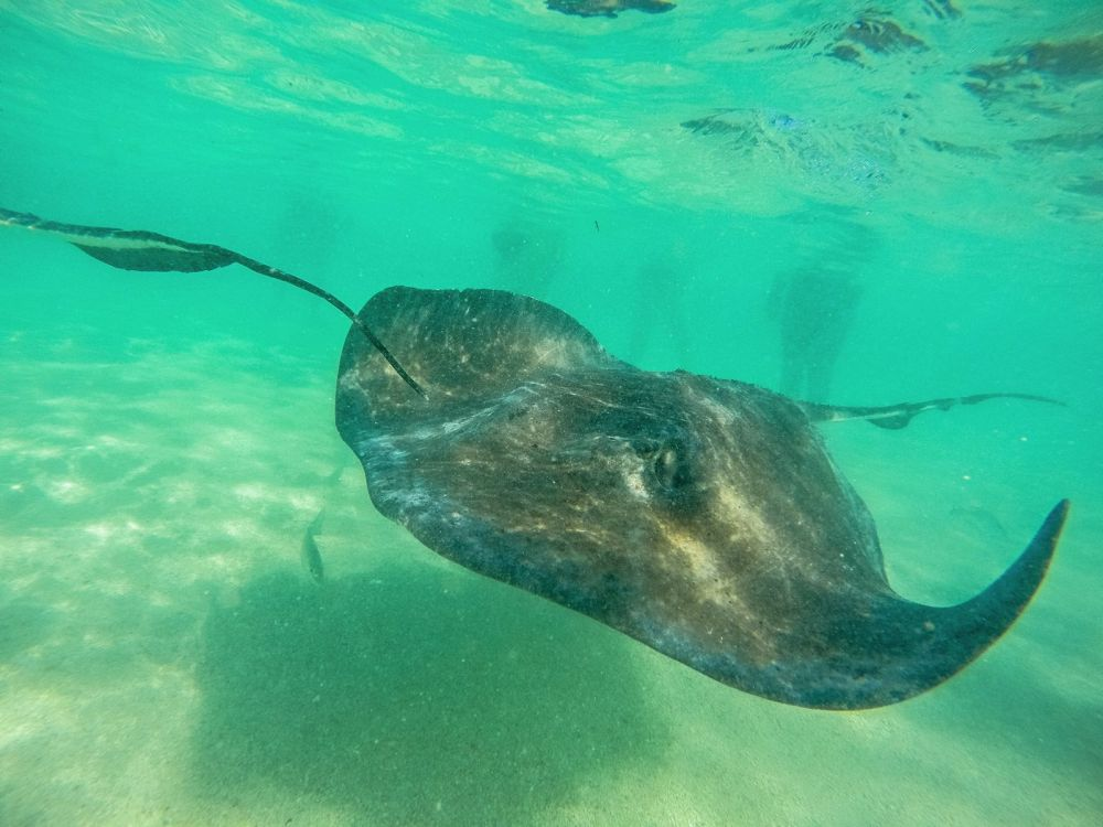 How To Swim With Wild Stingrays In Antigua (10)