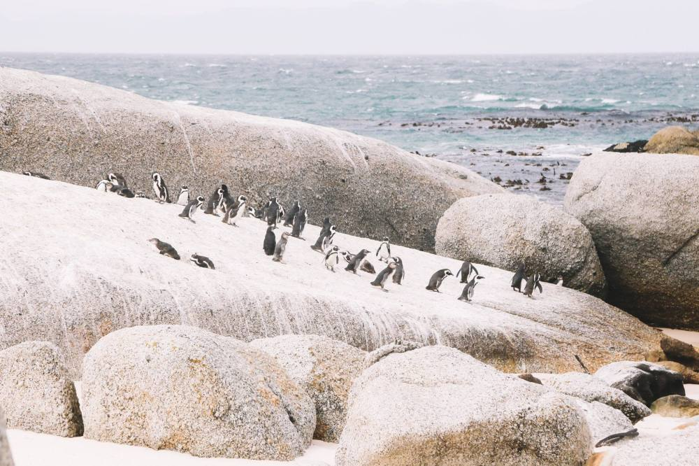 How To Visit Penguin Beach In South Africa (11)