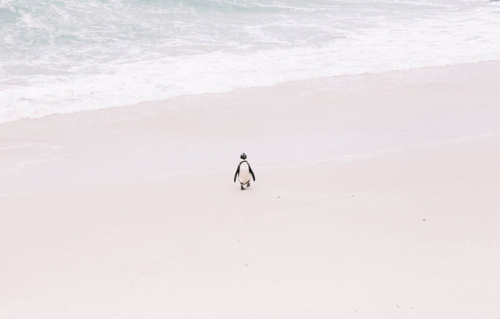 How To Visit Penguin Beach In South Africa (2)