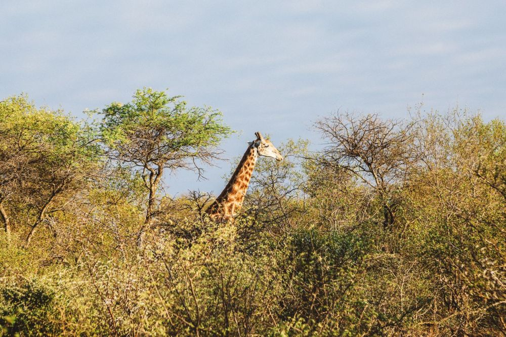 Midnight Lions, Skittish Giraffes And The Deadliest Of The Safari Big 5 In South Africa (2)