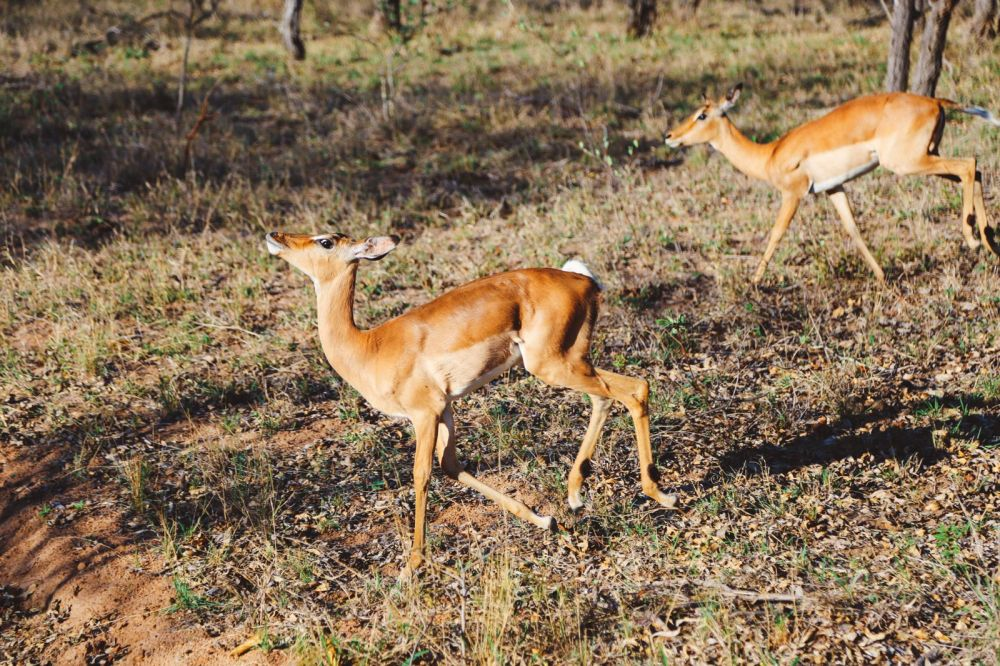 Midnight Lions, Skittish Giraffes And The Deadliest Of The Safari Big 5 In South Africa (46)