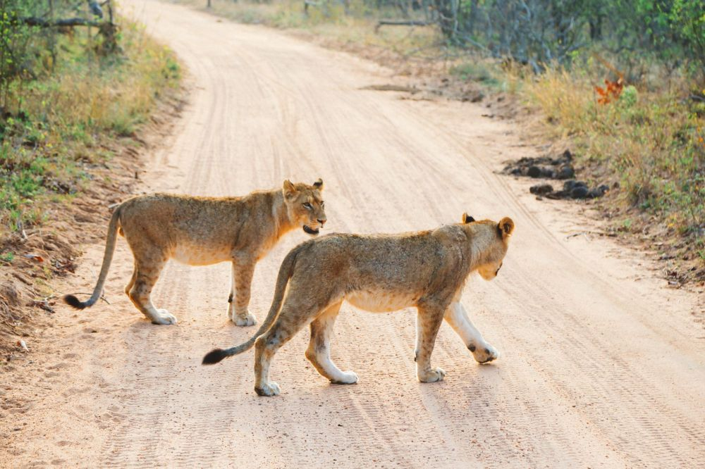 What's It Like To Be Stuck In A Pride Of Lions On Safari In South Africa? (16)