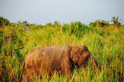 Safari in Mineriya National Park Sri Lanka Elephants (22)