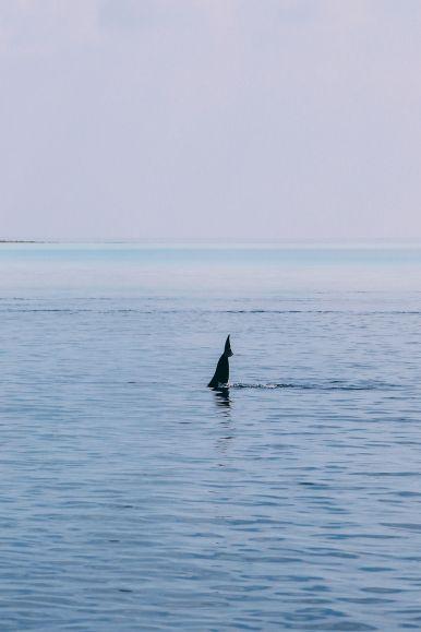 Maafushivaru, Birthing Dolphins And Swimming With Manta Rays... In The Maldives (36)