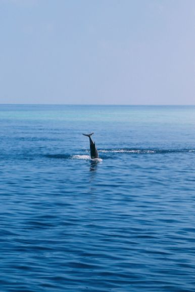 Maafushivaru, Birthing Dolphins And Swimming With Manta Rays... In The Maldives (49)