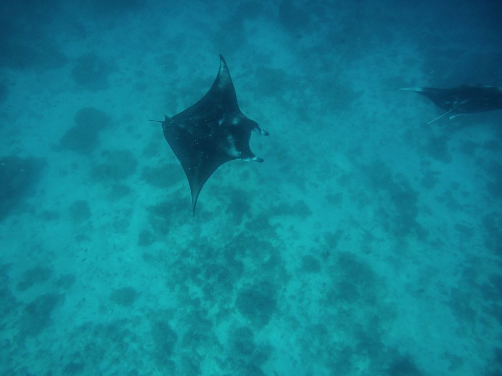 Maafushivaru, Birthing Dolphins And Swimming With Manta Rays... In The Maldives (53)