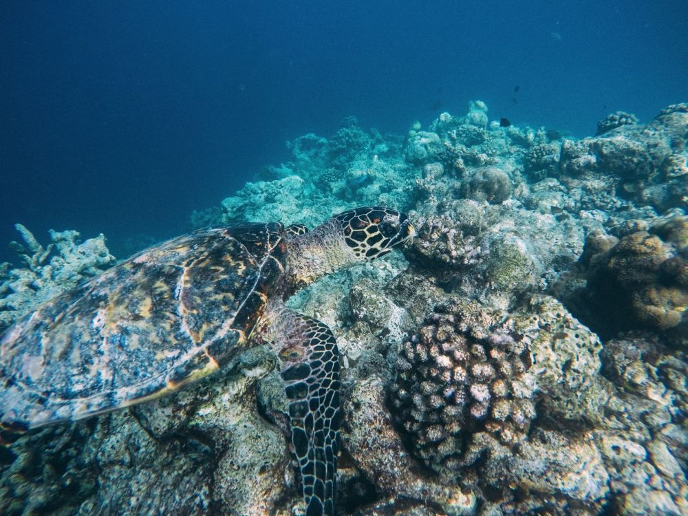 Swimming With Wild Turtles And Those Amazing Island Colours... At Kandolhu Island, Maldives (27)