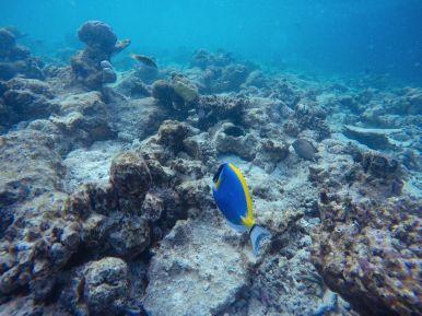 Swimming With Wild Turtles And Those Amazing Island Colours... At Kandolhu Island, Maldives (33)