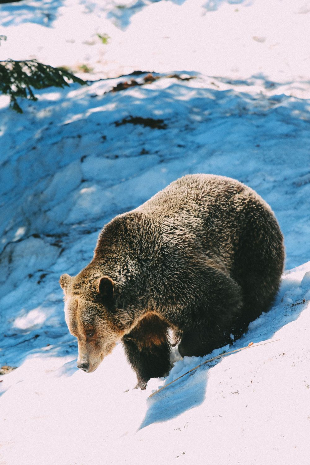 Finding Grizzly Bears On Grouse Mountain... In Vancouver, Canada (23)