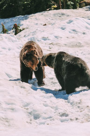 Finding Grizzly Bears On Grouse Mountain... In Vancouver, Canada (26)
