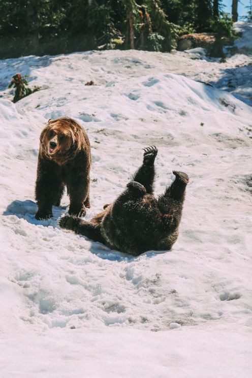Finding Grizzly Bears On Grouse Mountain... In Vancouver, Canada (28)