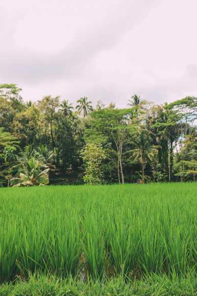 Bali Travel - Tegalalang Rice Terrace In Ubud And Gunung Kawi Temple (14)